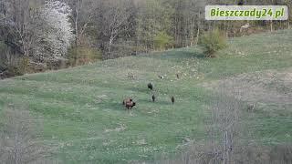 BIESZCZADY: Zobacz jak żubry bronią swojego terytorium