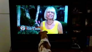 Джек-рассел-терьер любит передачи про животных. Приколы с животными. Собаки крутые.Смотреть всем!!!