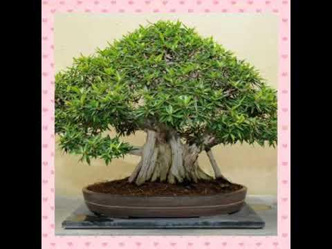 bonsai-bonsai-tree-bonsai-sushi-bonsai-trees-for-sale-bonsai-pots-bonsai-garden-bonsai-kitten-bonsai