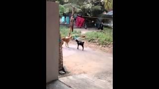 Thug life for goat , dare kick over dog