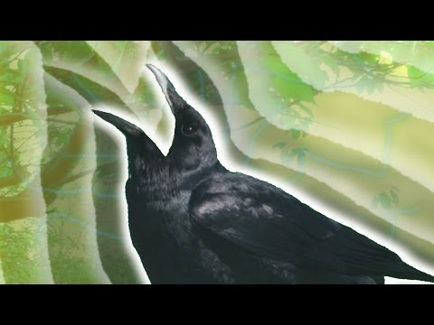 Crow Evolution