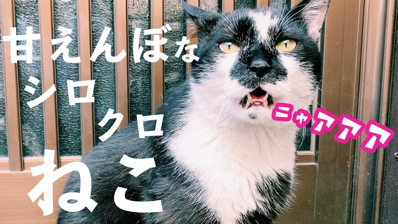 ニャーニャー鳴く甘えんぼ猫。白黒模様が可愛いねこと遊ぶ。