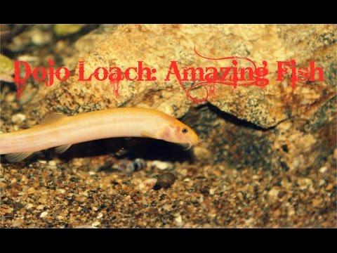 Dojo Loach: Amazing Fish