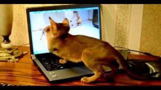 Абиссинские котята Super Aby LaKoshka