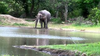 Big Tusker quenching thirst in Sathyamangalam Forests