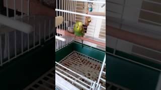 Toe tapping budgerigar(muhabbet kuşu ayak oynatma)