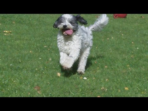 Tibetan Terrier Baxter Babe at A & B Dogs Boarding & Training Kennels.