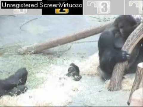 Gorillas Brawl At The Omaha Zoo Doovi