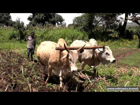 Ethiopia - Ploughing