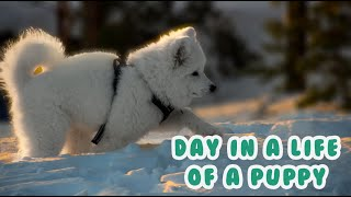 A Day In The Life Of A Samoyed Puppy | Vlog Daily Routine