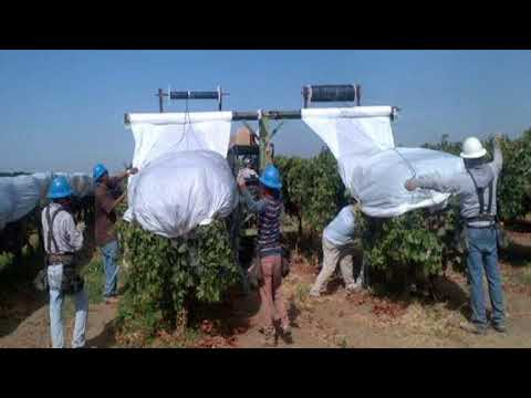 Plastic covers for table grapes: Part 1. Extending the harvest