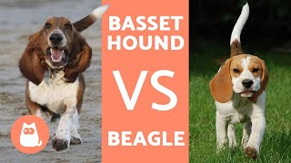 Differences between beagles and basset hounds