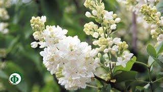 видео Акации белой цветов гидролат