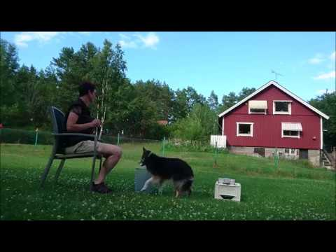 Expert Trick Dog ETD Fonzie 12 years old