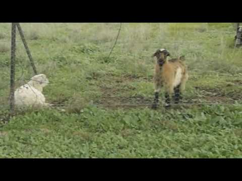 ▶️ GOATS SOUND EFFECT. BABY GOATS BLEATING ON THE FARM. FOR 12 HOURS. 📢