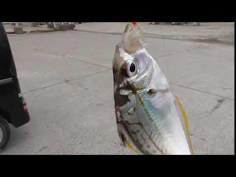 車横付けでヒイラギを釣りませんか? サビキ仕掛けでたくさん釣れます 和歌山釣太郎