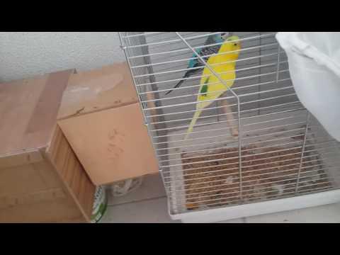 Muhabbet Kuşu ((((DİŞİ YUVAYA NASIL ALIŞIR....ÇİFLEŞME BELİRTİLERİ ))))) BİLGİ SERİSİ 2. VİDEO