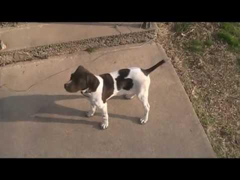 English Pointer Puppy – The Moxy Dog