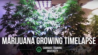 Marijuana Growing Time Lapse Video LED