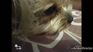 Это фото собаки Йорк