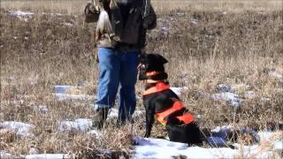 Luna's First Upland Hunt