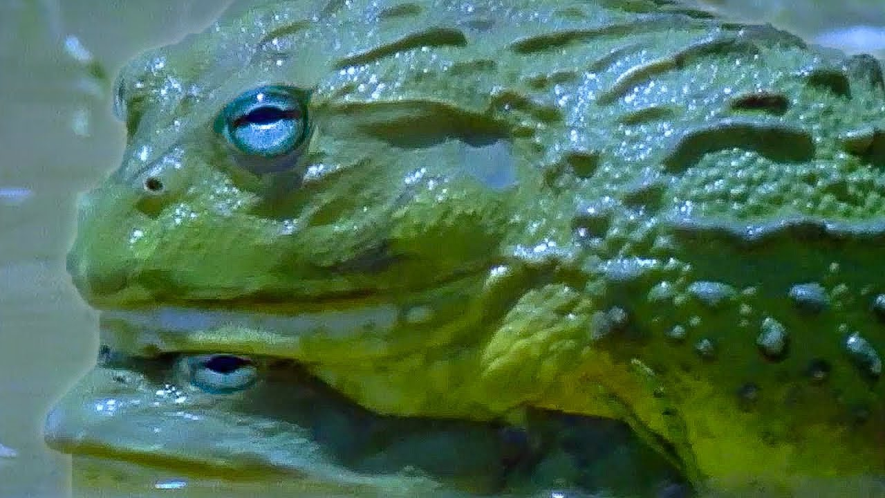 African Bullfrog Dad Protects Tadpoles | Battle of the Sexes in the Animal World | BBC Earth