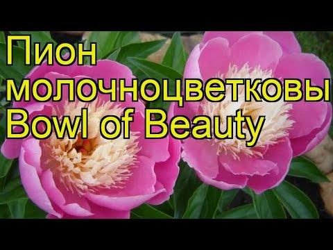 Пион молочноцветковый Боул оф Бьюти. Краткий обзор, описание paeonia lactiflora Bowl of Beauty