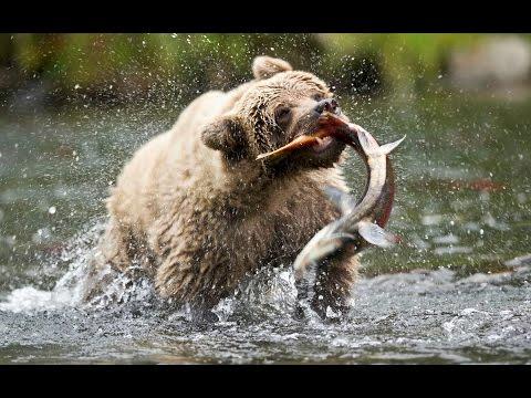 Salmon Running the Gauntlet (Nature Documentary, Full Length)