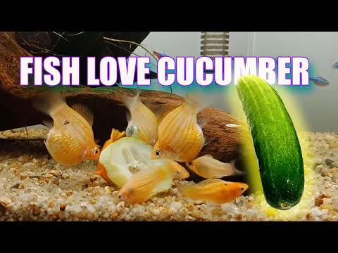HOW To FEED CUCUMBER To Molly Fish
