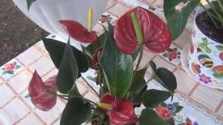 Семейный блог Гранкиных.Антуриум уход, пересадка в домашних условиях.(, 2015-09-17T11:16:08.000Z)