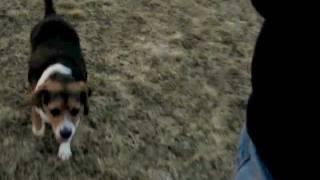 Real World Off Leash Training, Beagle #1