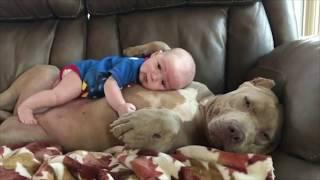 世界一凶暴な犬種ピットブルの見せる可愛らしい表情 thumbnail