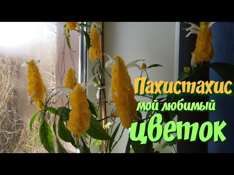 Мои комнатные цветы и растения.Редкие комнатные цветы.Пахистахис.