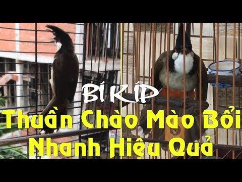 Cách thuần chim Chào Mào Bổi nhanh và hiệu quả nhất | Foci