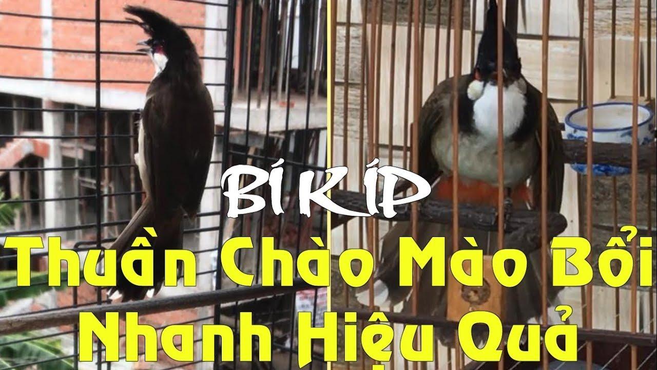 Cách thuần chim Chào Mào Bổi nhanh và hiệu quả nhất