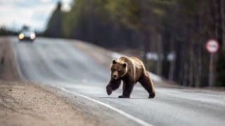 Медведи нападают на людей [ВИДЕО] | Что делать при встрече с медведем?