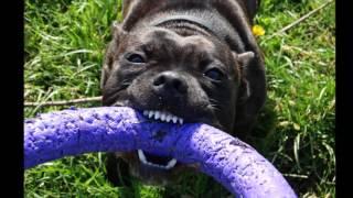 Стаффордширский бультерьер Валли (jumping dog)