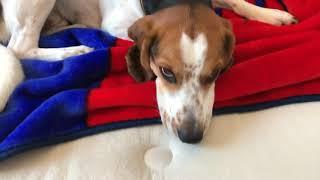 My Beagle English foxhound