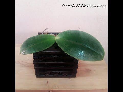 Мастер - класс по уходу за листьями орхидей на примере PHALAENOPSIS GIGANTEA