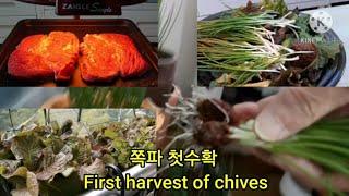 베란다 텃밭 가을쪽파 첫수확 The first harv…