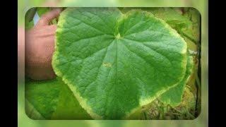 Почему желтеют листья огурца