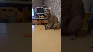 Феномен: кот ориентал стреляющий резинкой