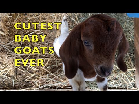 Baby pygmy goats playing - YouTube |Baby Goats Playing Youtube