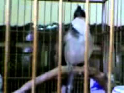 Tiếng chim chào mào