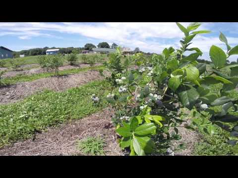 Emery's Berry Farm Organic Blueberry U Pick Farm New Jersey NJ