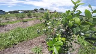 Emery's Berry Farm Organic Blueberry U Pick Farm New Jersey NJ
