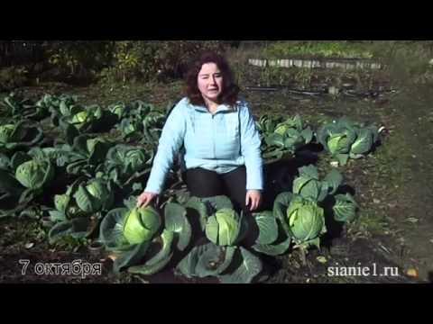 Нужно ли обрывать листья у капусты?