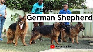 Breeder's Wahala: S2 Ep4; Breeding The German Shepherd Dog, With LION KENNEL