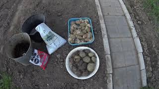 Картофель.   Классический  способ , супер урожай.