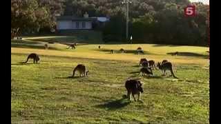 Дикая природа  Вездесущие кенгуру  Австралия